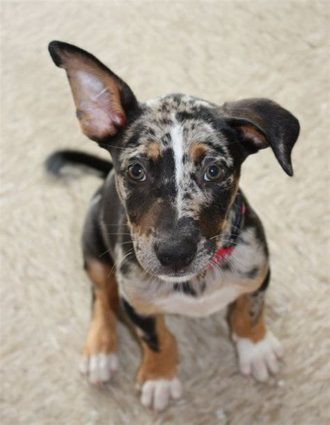 catahoula leopard rescue catahoula leopard puppy for puppy fridays from underdog rescue of arizona