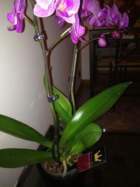 orchidea come bagnarla orchidea