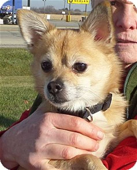 shiba inu pomeranian mix il shiba inu pomeranian mix meet snickers a for adoption