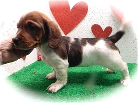 beagle dachshund mix puppies for sale view ad doxle puppy for sale illinois chicago usa