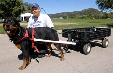 largest rottweiler on record rottweiler recorded breeds picture