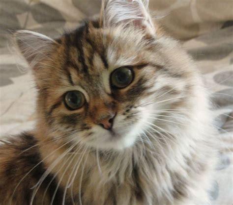 alimentazione gatto siberiano gatto siberiano pelo lungo scopriamo il gatto siberiano
