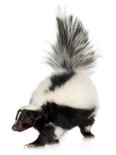 how to get skunk out of fur skunk smell on skunk smell remover skunks and cat