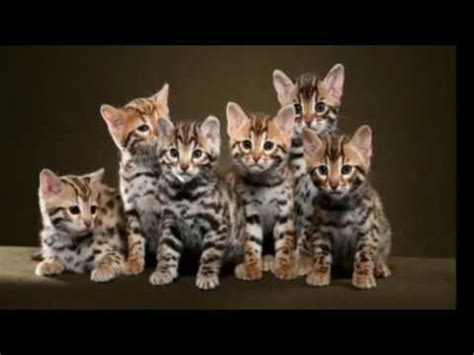 Way Of The Cat top 10 reasons to choose a bengal cat as your pet