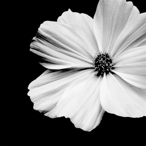 black and white flower background white flower on black background photograph by 169 kara pecknold
