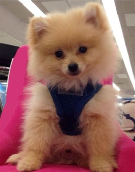pomeranian clothes 17 best images about chihuahua pomeranian clothes on chihuahuas pets