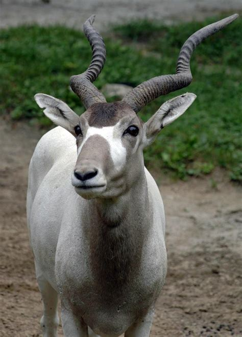 amazing addax  long twisted horns infy world