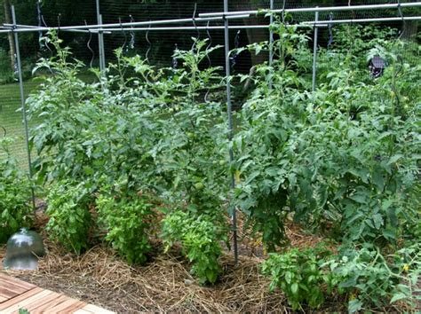 plants that repel aphids plants that repel aphids 63 amazing pest and insect
