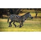 Wallpaper Zebras Cute Animals 1080p Full Hd High