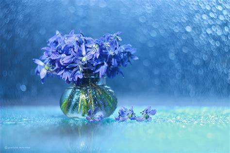 zroszone niebieskie kwiaty cebulicy syberyjskiej  wazoniku