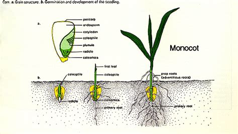 diagram of monocot seed flashcards seeds and germination seed embryo studyblue