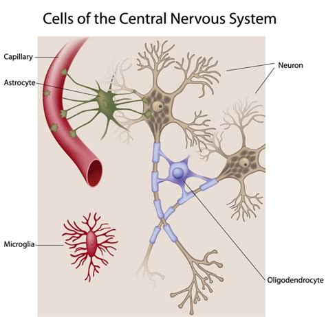 The Power Of Detox How Physiology Connects To Energy by 25 Best Ideas About Central Nervous System On