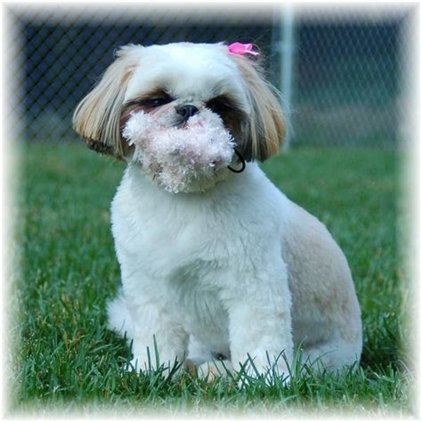 white and gold shih tzu ga shih tzu shih tzu puppies for sale in fl al tn sc nc atl jax birm talla