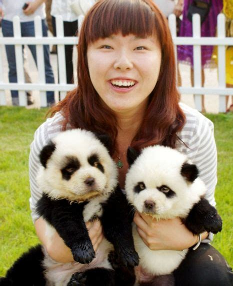 panda puppy panda dogs in china chow chow dogs are dyed to look like a panda pets world