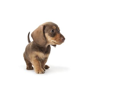 how much are dachshund puppies how much is a dachshund puppy dogs in our photo
