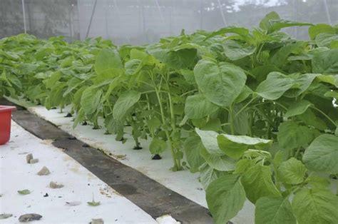 membuat kebun hidroponik pengalaman kebun 3 hidroponik jirifarm jiri farm