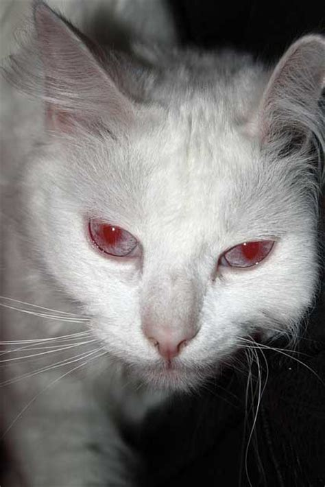 what color are albinos cat eye color