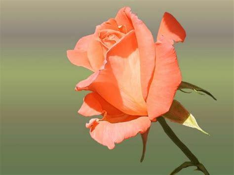 wallpaper daun pink 12 arti bunga mawar berdasarkan warna dan jumlah