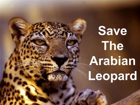 saving the snow leopards big cat rescue كيفية حماية النمر العربي من الانقراض المرسال