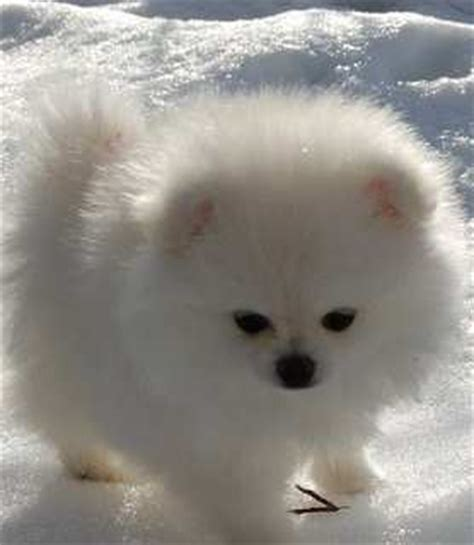 pomeranian colors white white pomeranian all about white pomeranian puppies and dogs
