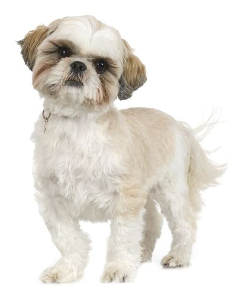 how to groom shih tzu puppy shih tzu grooming how to do it yourself dvd ebay
