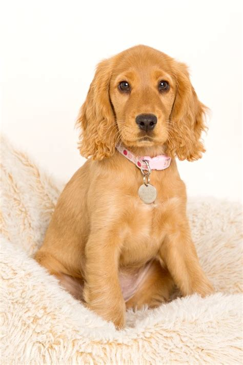 cocker spaniel breeders best 25 cocker spaniel breeders ideas on cocker spaniel breeds cocker