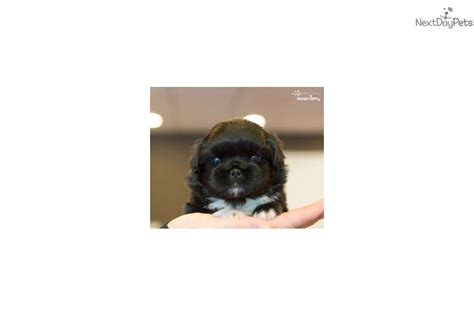 teacup pekingese puppies for sale pekingese puppies for sale dogs breeds picture