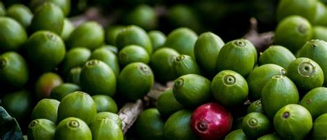 Pelangsing Jos green coffee kopi hijau dengan khasiat pelangsing