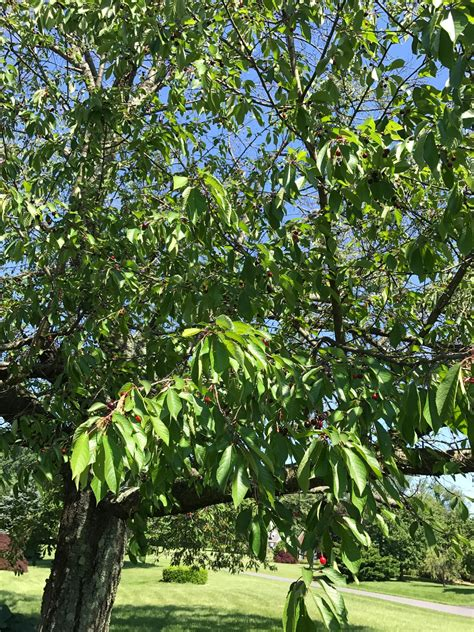 cherry tree quiz ask an expert extension