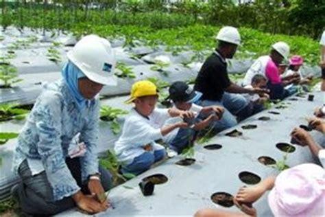 Benih Cabai Kopay cara menanam cabe keriting info tanaman lengkap