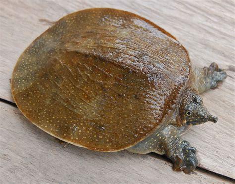 Minyak Bulus trionychidae