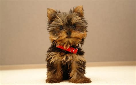 adorable yorkies yorkie puppy dogs puppies names breeds and grooming