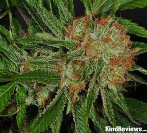 white slipper strain glass slipper marijuana strain library potguide