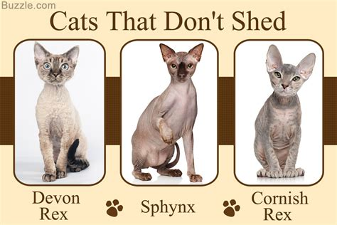 Cat Breeds That Dont Shed by These 5 Cat Breeds That Don T Shed Are Cat Astrophically