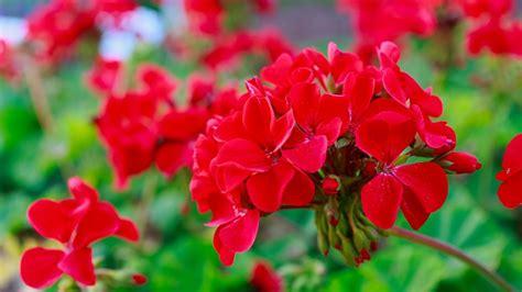 fiori da balcone estivi fiori da balcone estivi i magnifici 5 donnad