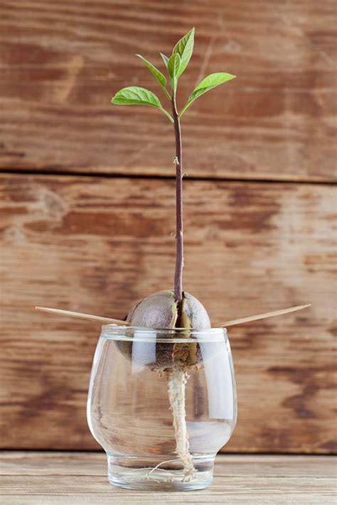 come coltivare in casa coltivare l avocado in casa ecco tutti i passaggi