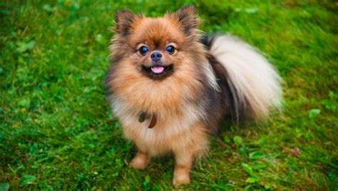 popular pomeranian world s top 10 most beautiful breeds 2018 trending top most