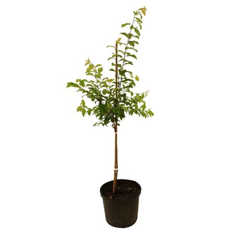 methley plum tree plumet05g the home depot