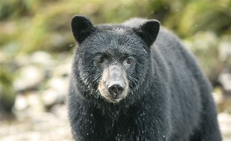 Black Bears black population in canada fur institute of canada