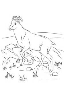 nilgiri tahr wild goat coloring page  printable