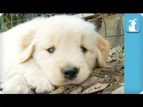 average expectancy for golden retrievers 80 seconds of adorable golden retriever puppies 네이트판 네이트판