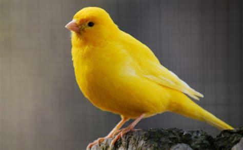 murai batu foto burung kolibri ninja jantan my 2nd blog super n ampuh sembuhkan segala penyakit burung dan merpati