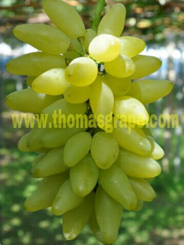 Bibit Anggur Globe gold finger grape seeds thomasgrape professional