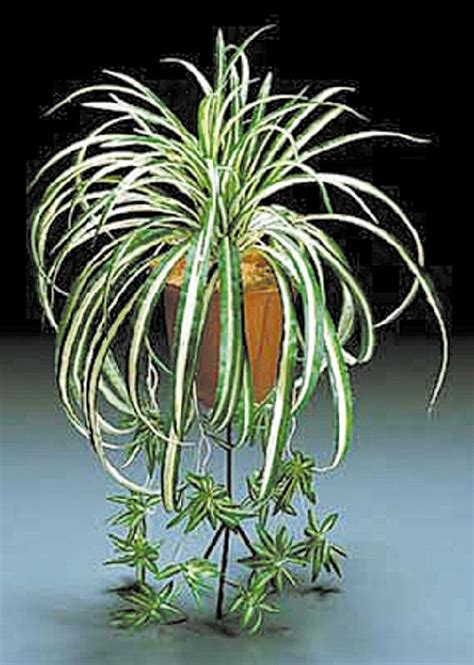 spider plant xing fu plants that can shield us from electromagnetic field
