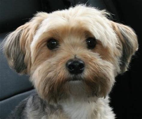 puppy haircuts for yorkie maltese mix teddy is love with fur teddybear came to us as a blessing