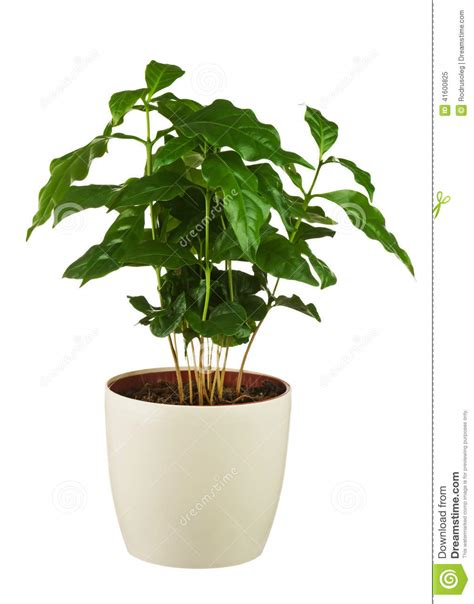Terrarium Coffee Table coffee tree arabica plant in flower pot isolated on