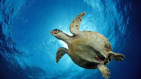 imagenes de tortugas blancas reportajes y fotograf 237 as de tortugas en national geographic