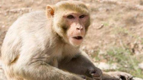monkeys run riot  south delhi homes mail today news