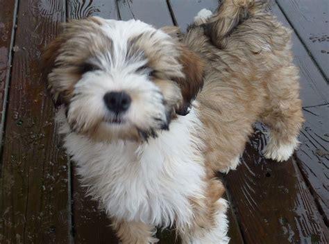 tibetan terrier puppies tibetan terrier not in the housenot in the house