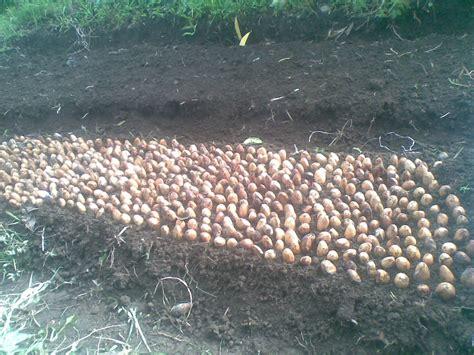 Jual Bibit Ayam Di Bali bibit buah durian jual bibit buah di bali